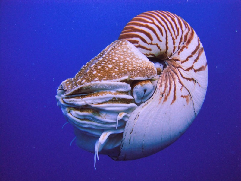 Name:  1200px-Nautilus_Palau.jpg Views: 52 Size:  152.4 KB