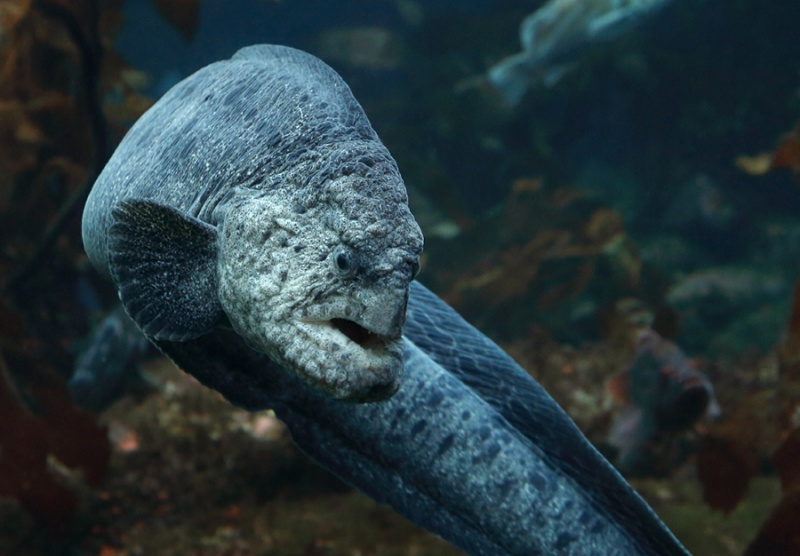Name:  wolf-eel-turns.jpg