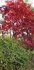 Click image for larger version.  Name:Red Maple.jpg Views:12 Size:232.5 KB ID:51334