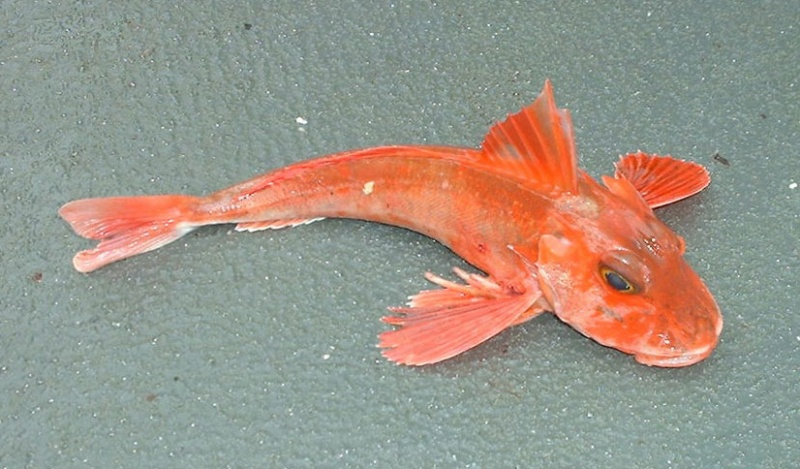 Name:  redgurnard.jpg