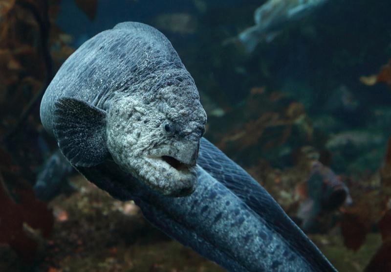 Name:  wolf-eel-turns.jpg Views: 35 Size:  123.4 KB
